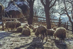 Sheep resting in a fold Stock Image