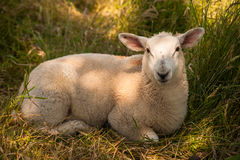 Sheep resting in the grass Royalty Free Stock Photos