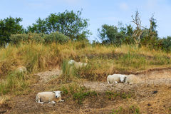 Sheep resting grass in summer Royalty Free Stock Photos