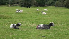 Sheep resting on grass in UK. Moorland sheep resting in the grass on Dartmoor National Park, Devon, England UK stock video footage