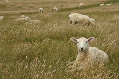 Sheep resting in grassy meadow Royalty Free Stock Image