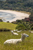 Sheep resting on grassy slope Stock Photo