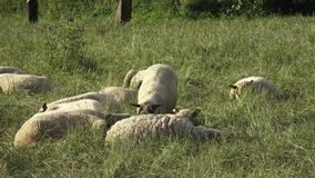 Sheep resting on green grass in spring. Sheep lying on the meadow and resting stock video footage