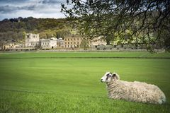 Sheep resting in grounds of stately home Stock Photos