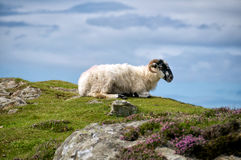 Sheep resting. Irish sheep resting on a sunny day royalty free stock photography