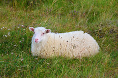 The sheep resting. July in Iceland. White Icelandic sheep resting in a meadow royalty free stock images