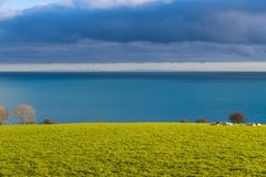 Sheep resting in a lush green sunny pasture above the sea royalty free stock image