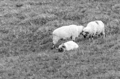 Sheep resting on a meadow Royalty Free Stock Image