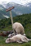 Sheep resting near glacier Stock Photo