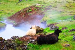 A sheep resting near Reykjadalur Hot Spring Thermal River, stock photography