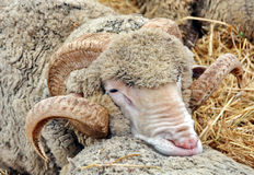 Sheep. Resting o another Royalty Free Stock Images