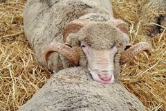 Sheep in straw. Soft cushion. Sheep resting on other sheep, in straw. Soft cushion stock image