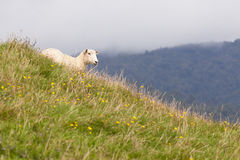 Sheep resting on rich fertile pasture hillside Stock Photography