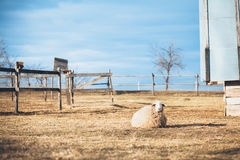 Sheep resting. On the rural countryside landscape Royalty Free Stock Photo