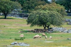 Sheep resting in the shade of a tree.  stock image