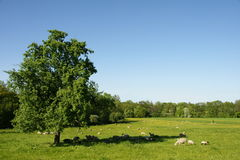 Sheep Resting in the Shadow of a Large Tree Royalty Free Stock Photography