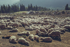 Sheep resting in sheepfold Stock Images