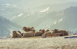 Sheep resting on snow Royalty Free Stock Photo