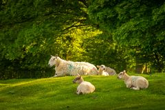 Sheep resting in the sunlight on top of Dovers Hill near Chipping Campden stock images