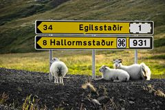Sheep are resting under signpost stock photography