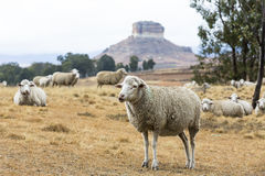 Sheep resting and waiting Stock Photo
