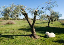 Sheep rests under a olive tree Royalty Free Stock Photo