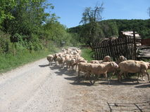 Sheep returning from grazing Royalty Free Stock Images