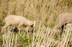 Sheep in the rice paddies. Mae Hong Son Thailand. Sheep in the rice paddies after harvest. Mae Hong Son Thailand Stock Photos
