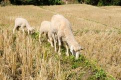Sheep in the rice paddies. Mae Hong Son Thailand. Sheep in the rice paddies after harvest. Mae Hong Son Thailand Stock Photography