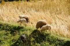 Sheep in the rice paddies. Mae Hong Son Thailand. Sheep in the rice paddies after harvest. Mae Hong Son Thailand Royalty Free Stock Image