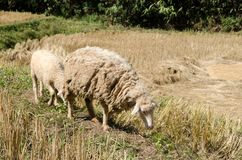 Sheep in the rice paddies. Mae Hong Son Thailand. Sheep in the rice paddies after harvest. Mae Hong Son Thailand Stock Images