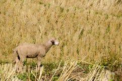 Sheep in the rice paddies. Mae Hong Son Thailand. Sheep in the rice paddies after harvest. Mae Hong Son Thailand Royalty Free Stock Photo