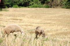 .Sheep in the rice paddies. Mae Hong Son Thailand. Sheep in the rice paddies after harvest. Mae Hong Son Thailand Royalty Free Stock Photos