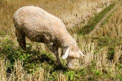 Sheep in the rice paddies. Mae Hong Son Thailand. Sheep in the rice paddies after harvest. Mae Hong Son Thailand Stock Image