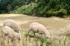 Sheep in the rice paddies. Mae Hong Son Thailand. Sheep in the rice paddies after harvest. Mae Hong Son Thailand Royalty Free Stock Images