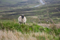 Sheep on a ridge. Sheep standing on a ridge looking at the camera. Shot at the Sally Gap in Wicklow, Ireland Stock Photography