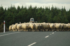 Sheep on the Road. Flock of sheep on highway royalty free stock photo