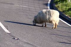 Sheep in road Royalty Free Stock Photo