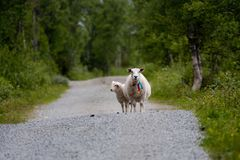 Sheep on road. Sheep standing on small road Royalty Free Stock Photography
