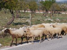 Sheep on the road Stock Images