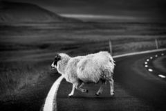 A sheep on the road