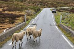 Sheep on road. Sheep crossing the road in tundra biome landscape in Norway. Mountain landscape in rainy weather Aurlandsfjellet Stock Photo