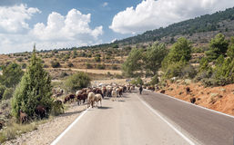 Sheep in the road. Road in field of Teruel, in which we see a sheep running through them Stock Photo