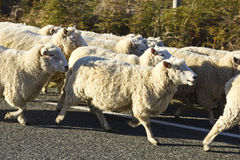 Sheep on the road Stock Photos