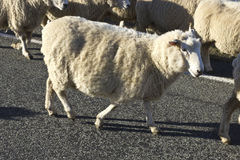Sheep on the road Royalty Free Stock Photography