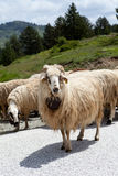 Sheep on Road Stock Images