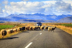 Sheep on the road in Iceland. A herd of sheep is crossing Highway No. 1 (Ring Road) in Southern Iceland Royalty Free Stock Images