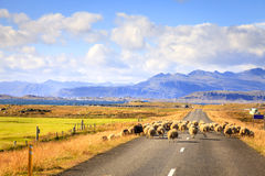 Sheep on the road in Iceland Royalty Free Stock Image
