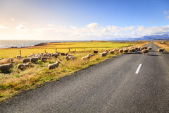 Sheep on the road in Iceland. A herd of sheep is crossing Highway No. 1 (Ring Road) in Southern Iceland Royalty Free Stock Image