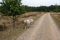 Sheep at the Road Stock Photography